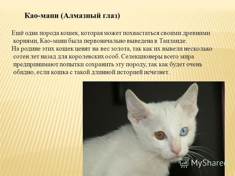 Као-мани (Алмазный глаз) Ещё одна порода кошек, которая может похвастаться своими древними корнями, Као-мани была первоначально выведена в Таиланде. На родине этих кошек ценят на вес золота, так как их вывели несколько сотен лет назад для королевских