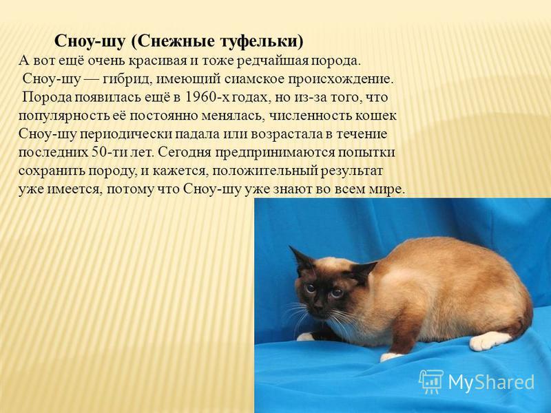 Сноу-шу (Снежные туфельки) А вот ещё очень красивая и тоже редчайшая порода. Сноу-шу гибрид, имеющий сиамское происхождение. Порода появилась ещё в 1960-х годах, но из-за того, что популярность её постоянно менялась, численность кошек Сноу-шу периоди