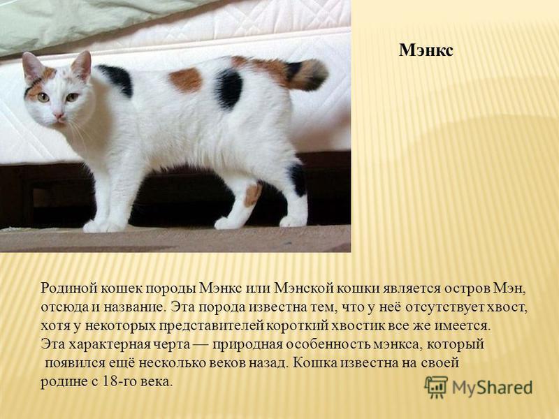 Мэнкс Родиной кошек породы Мэнкс или Мэнской кошки является остров Мэн, отсюда и название. Эта порода известна тем, что у неё отсутствует хвост, хотя у некоторых представителей короткий хвостик все же имеется. Эта характерная черта природная особенно