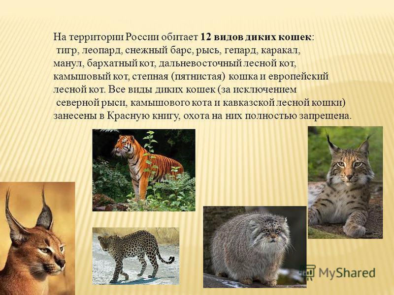 На территории России обитает 12 видов диких кошек: тигр, леопард, снежный барс, рысь, гепард, каракал, манул, бархатный кот, дальневосточный лесной кот, камышовый кот, степная (пятнистая) кошка и европейский лесной кот. Все виды диких кошек (за исклю