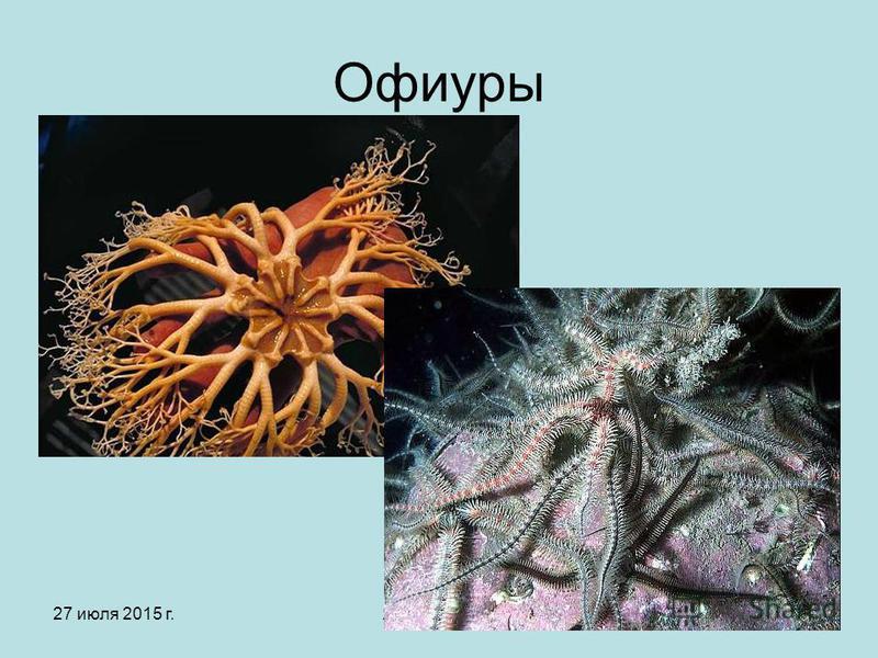 27 июля 2015 г.Яковлева Л.А.20 Офиуры