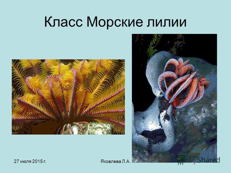 27 июля 2015 г.Яковлева Л.А.4 Класс Морские лилии