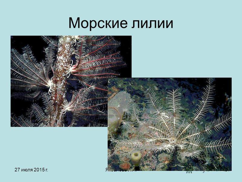 27 июля 2015 г.Яковлева Л.А.5 Морские лилии
