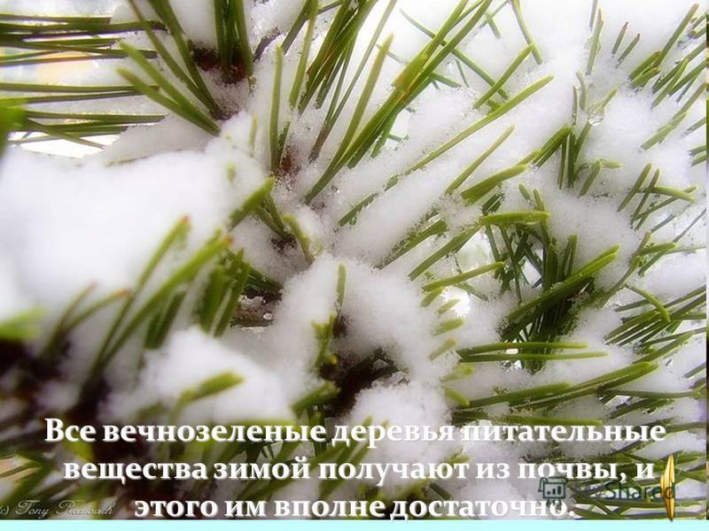 Но не все деревья сбрасывают листья. Это хвойные деревья. У них вместо листьев хвоинки. Дерево меняет их не сразу, а постепенно. Каждую один раз в 2 -3 года..