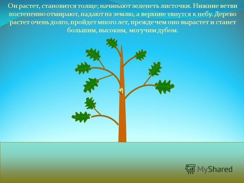 Как растет дуб? Осенью с ветвей дуба падают на землю желуди. Некоторые желуди весной прорастают. Сначала в землю углубляется корень, потом появляется стебелек.