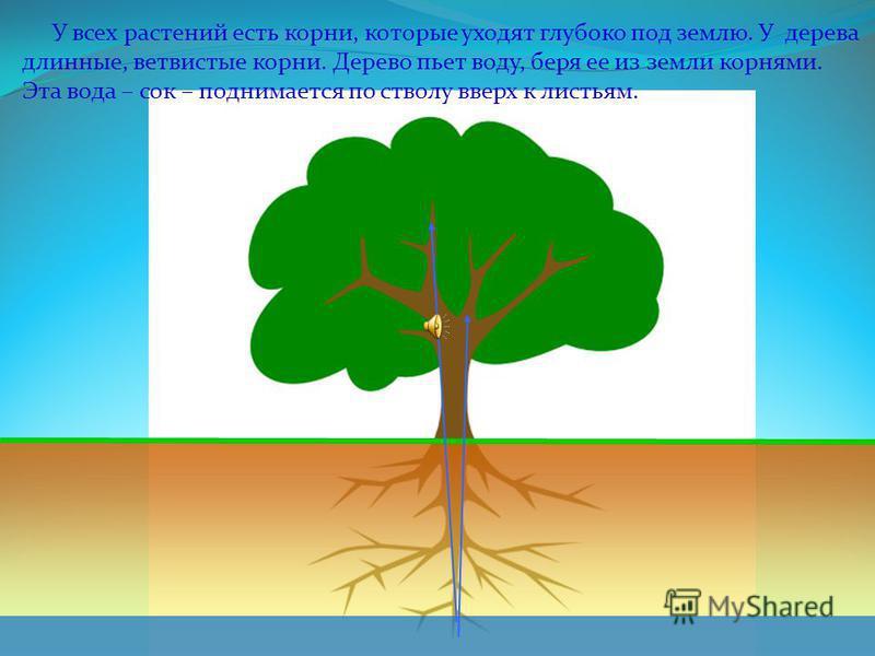 Строение дерева КРОНА ДЕРЕВА ВЕТВИ СТВОЛ ДЕРЕВА ЛИСТЬЯ МАКУШКА ДЕРЕВА КОРНИ ПРОБКОВЫЙ СЛОЙ