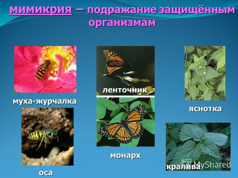 мимикрия – подражание защищённым организмам муха-журчалка оса ленточник монарх яснотка крапива