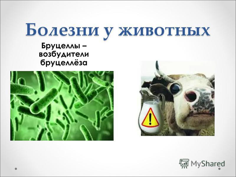 Болезни у животных Бруцеллы – возбудители бруцеллёза