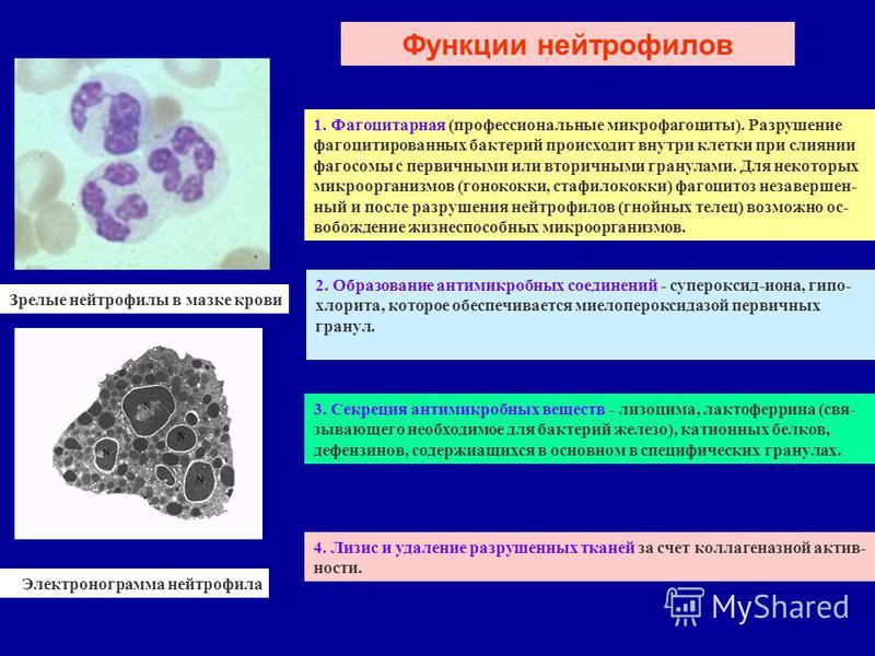 Зрелые нейтрофилы в мазке крови Электронограмма нейтрофила Функции нейтрофилов 1. Фагоцитарная (профессиональные микро фагоциты). Разрушение фагоцитированных бактерий происходит внутри клетки при слиянии фагосомы с первичными или вторичными гранулами