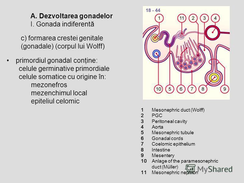 A. Dezvoltarea gonadelor I. Gonada indiferentă c) formarea crestei genitale (gonadale) (corpul lui Wolff) primordiul gonadal conţine: celule germinative primordiale celule somatice cu origine în: mezonefros mezenchimul local epiteliul celomic 1 2 3 4