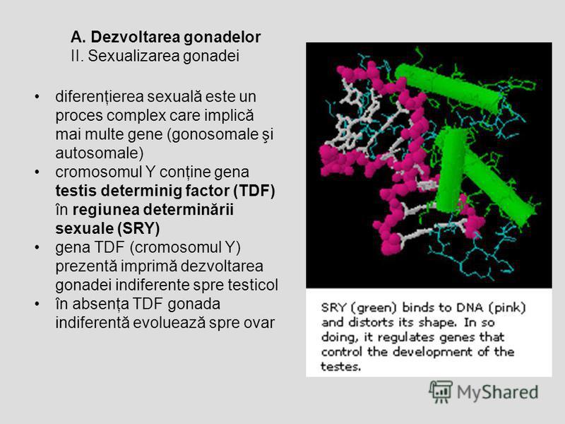 A. Dezvoltarea gonadelor II. Sexualizarea gonadei diferenţierea sexuală este un proces complex care implică mai multe gene (gonosomale şi autosomale) cromosomul Y conţine gena testis determinig factor (TDF) în regiunea determinării sexuale (SRY) gena