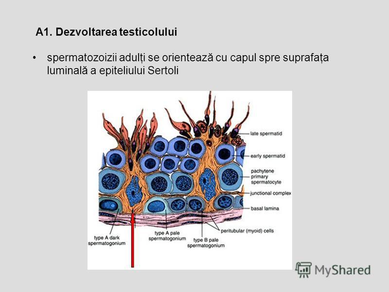 spermatozoizii adulţi se orientează cu capul spre suprafaţa luminală a epiteliului Sertoli A1. Dezvoltarea testicolului