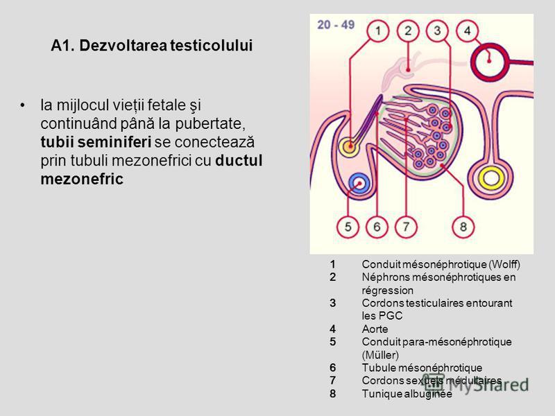1234567812345678 Conduit mésonéphrotique (Wolff) Néphrons mésonéphrotiques en régression Cordons testiculaires entourant les PGC Aorte Conduit para-mésonéphrotique (Müller) Tubule mésonéphrotique Cordons sexuels médullaires Tunique albuginée la mijlo