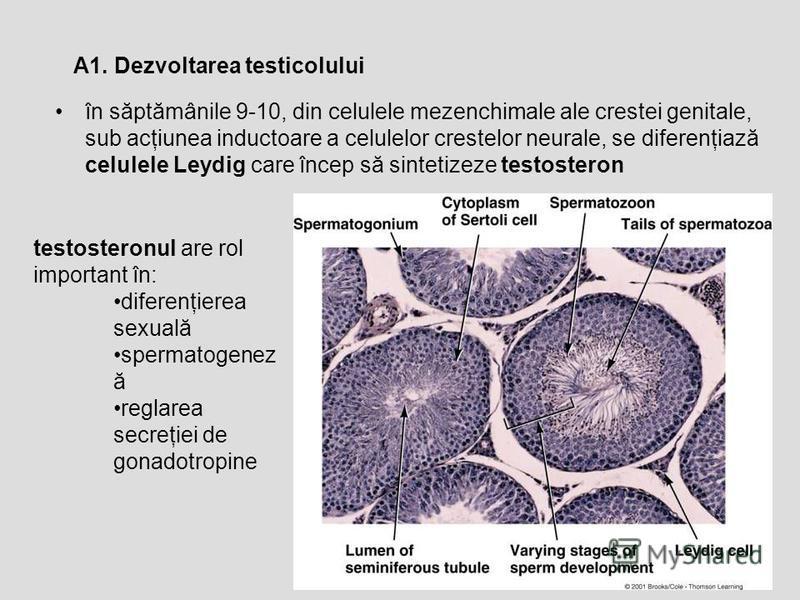 în săptămânile 9-10, din celulele mezenchimale ale crestei genitale, sub acţiunea inductoare a celulelor crestelor neurale, se diferenţiază celulele Leydig care încep să sintetizeze testosteron A1. Dezvoltarea testicolului testosteronul are rol impor