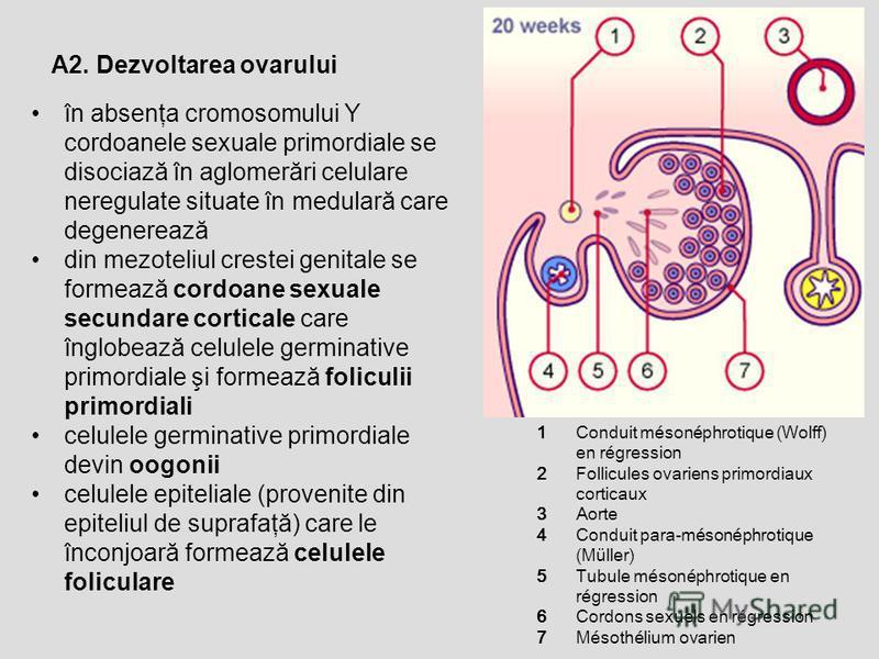 A2. Dezvoltarea ovarului în absenţa cromosomului Y cordoanele sexuale primordiale se disociază în aglomerări celulare neregulate situate în medulară care degenerează din mezoteliul crestei genitale se formează cordoane sexuale secundare corticale car