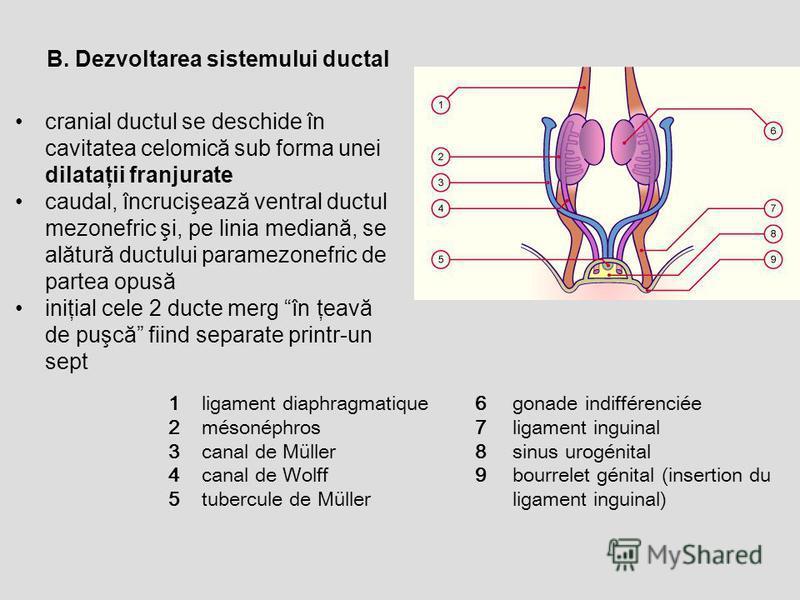 B. Dezvoltarea sistemului ductal cranial ductul se deschide în cavitatea celomică sub forma unei dilataţii franjurate caudal, încrucişează ventral ductul mezonefric şi, pe linia mediană, se alătură ductului paramezonefric de partea opusă iniţial cele