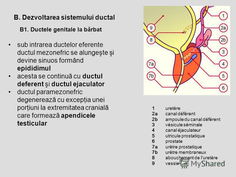 B1. Ductele genitale la bărbat B. Dezvoltarea sistemului ductal sub intrarea ductelor eferente ductul mezonefric se alungeşte şi devine sinuos formând epididimul acesta se continuă cu ductul deferent şi ductul ejaculator ductul paramezonefric degener