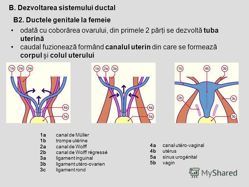 B2. Ductele genitale la femeie B. Dezvoltarea sistemului ductal odată cu coborârea ovarului, din primele 2 părţi se dezvoltă tuba uterină caudal fuzionează formând canalul uterin din care se formează corpul şi colul uterului 1a 1b 2a 2b 3a 3b 3c cana