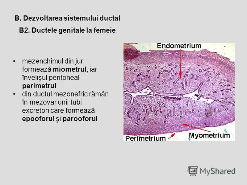 B2. Ductele genitale la femeie B. Dezvoltarea sistemului ductal mezenchimul din jur formează miometrul, iar învelişul peritoneal perimetrul din ductul mezonefric rămân în mezovar unii tubi excretori care formează epooforul şi parooforul