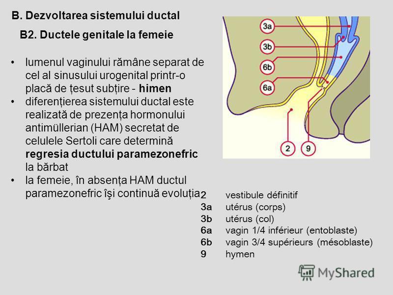 B2. Ductele genitale la femeie B. Dezvoltarea sistemului ductal lumenul vaginului rămâne separat de cel al sinusului urogenital printr-o placă de ţesut subţire - himen diferenţierea sistemului ductal este realizată de prezenţa hormonului antimülleria
