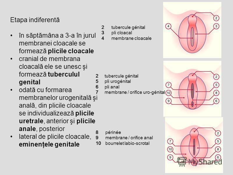 Etapa indiferentă în săptămâna a 3-a în jurul membranei cloacale se formează plicile cloacale cranial de membrana cloacală ele se unesc şi formează tuberculul genital odată cu formarea membranelor urogenitală şi anală, din plicile cloacale se individ