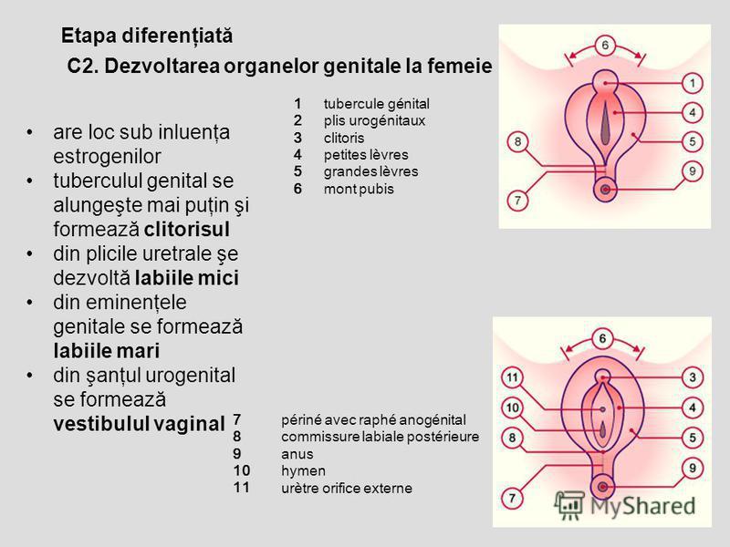 Etapa diferenţiată C2. Dezvoltarea organelor genitale la femeie are loc sub inluenţa estrogenilor tuberculul genital se alungeşte mai puţin şi formează clitorisul din plicile uretrale şe dezvoltă labiile mici din eminenţele genitale se formează labii