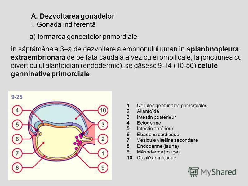 în săptămâna a 3–a de dezvoltare a embrionului uman în splanhnopleura extraembrionară de pe faţa caudală a veziculei ombilicale, la joncţiunea cu diverticulul alantoidian (endodermic), se găsesc 9-14 (10-50) celule germinative primordiale. a) formare