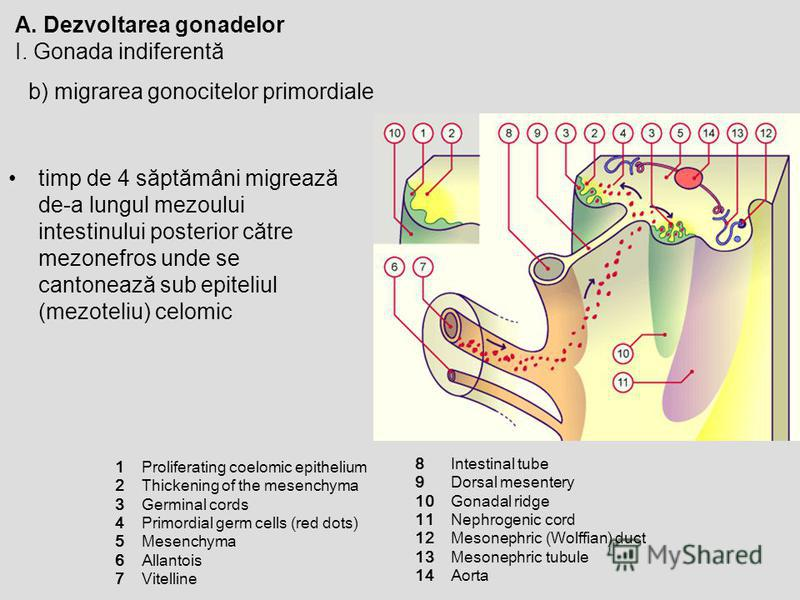 A. Dezvoltarea gonadelor I. Gonada indiferentă b) migrarea gonocitelor primordiale timp de 4 săptămâni migrează de-a lungul mezoului intestinului posterior către mezonefros unde se cantonează sub epiteliul (mezoteliu) celomic 12345671234567 Prolifera