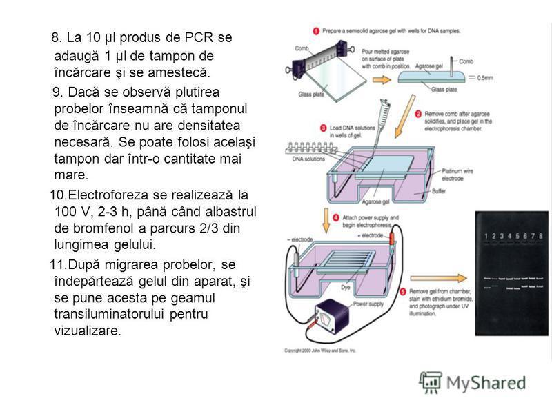 8. La 10 μl produs de PCR se adaugă 1 μl de tampon de încărcare şi se amestecă. 9. Dacă se observă plutirea probelor înseamnă că tamponul de încărcare nu are densitatea necesară. Se poate folosi acelaşi tampon dar într-o cantitate mai mare. 10.Electr