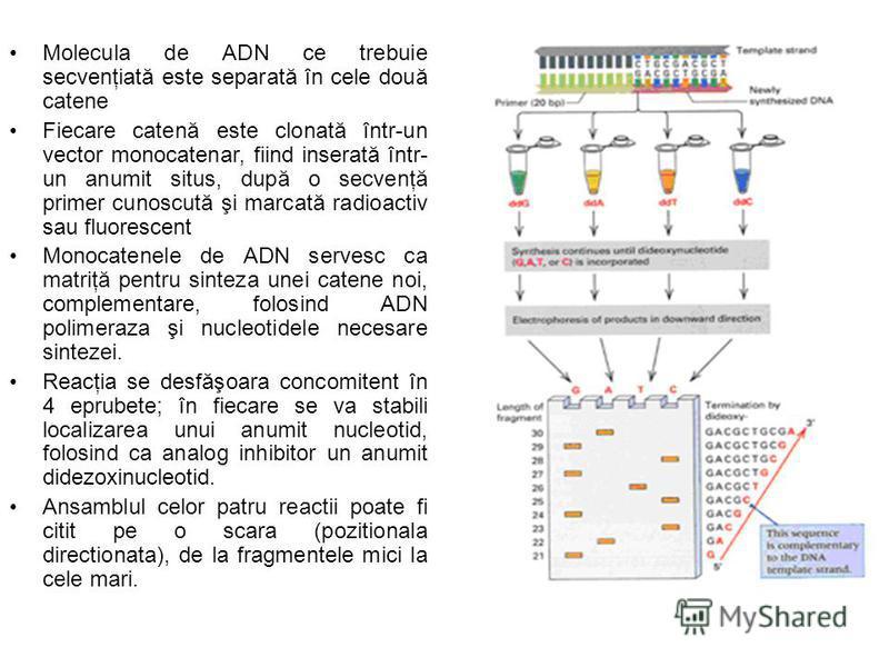 Molecula de ADN ce trebuie secvenţiată este separată în cele două catene Fiecare catenă este clonată într-un vector monocatenar, fiind inserată într- un anumit situs, după o secvenţă primer cunoscută şi marcată radioactiv sau fluorescent Monocatenele