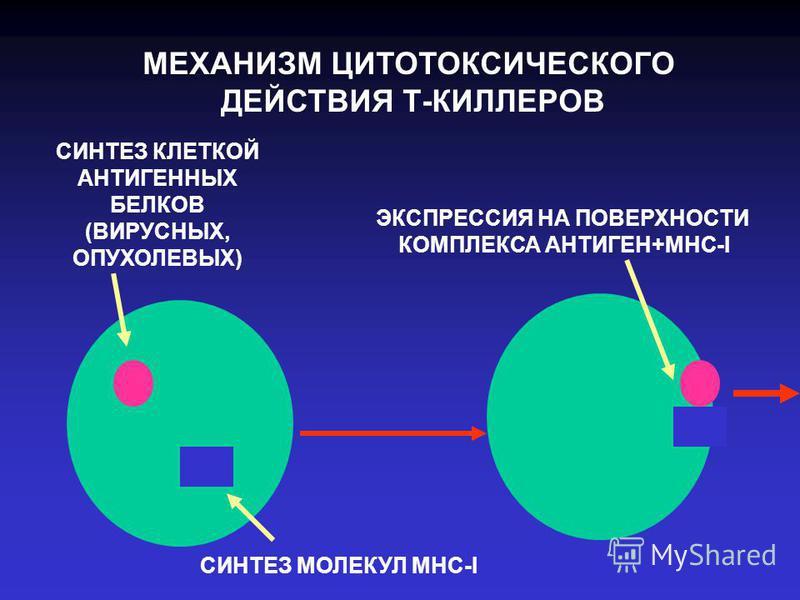 МЕХАНИЗМ ЦИТОТОКСИЧЕСКОГО ДЕЙСТВИЯ Т-КИЛЛЕРОВ СИНТЕЗ КЛЕТКОЙ АНТИГЕННЫХ БЕЛКОВ (ВИРУСНЫХ, ОПУХОЛЕВЫХ) СИНТЕЗ МОЛЕКУЛ МНС-I ЭКСПРЕССИЯ НА ПОВЕРХНОСТИ КОМПЛЕКСА АНТИГЕН+МНС-I