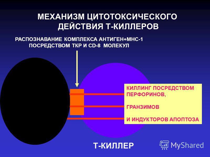 МЕХАНИЗМ ЦИТОТОКСИЧЕСКОГО ДЕЙСТВИЯ Т-КИЛЛЕРОВ РАСПОЗНАВАНИЕ КОМПЛЕКСА АНТИГЕН+МНС-1 ПОСРЕДСТВОМ ТКР И CD-8 МОЛЕКУЛ КИЛЛИНГ ПОСРЕДСТВОМ ПЕРФОРИНОВ, ГРАНЗИМОВ И ИНДУКТОРОВ АПОПТОЗА Т-КИЛЛЕР
