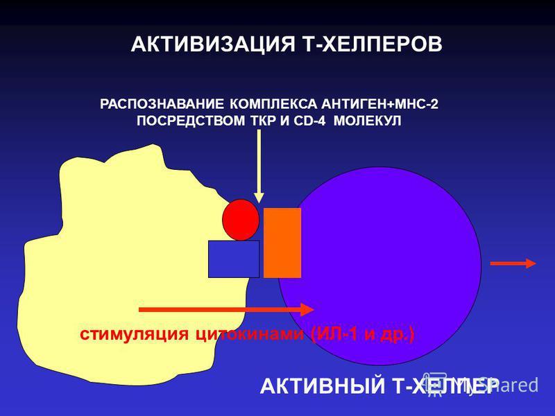 АКТИВИЗАЦИЯ Т-ХЕЛПЕРОВ РАСПОЗНАВАНИЕ КОМПЛЕКСА АНТИГЕН+МНС-2 ПОСРЕДСТВОМ ТКР И CD-4 МОЛЕКУЛ АКТИВНЫЙ Т-ХЕЛПЕР стимуляция цитокинами (ИЛ-1 и др.)