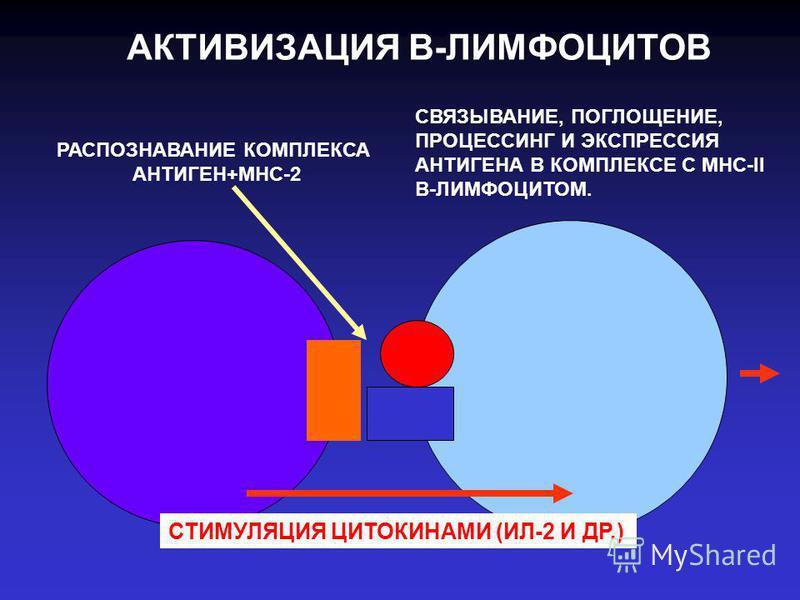 АКТИВИЗАЦИЯ В-ЛИМФОЦИТОВ РАСПОЗНАВАНИЕ КОМПЛЕКСА АНТИГЕН+МНС-2 СВЯЗЫВАНИЕ, ПОГЛОЩЕНИЕ, ПРОЦЕССИНГ И ЭКСПРЕССИЯ АНТИГЕНА В КОМПЛЕКСЕ С МНС-II В-ЛИМФОЦИТОМ. СТИМУЛЯЦИЯ ЦИТОКИНАМИ (ИЛ-2 И ДР.)