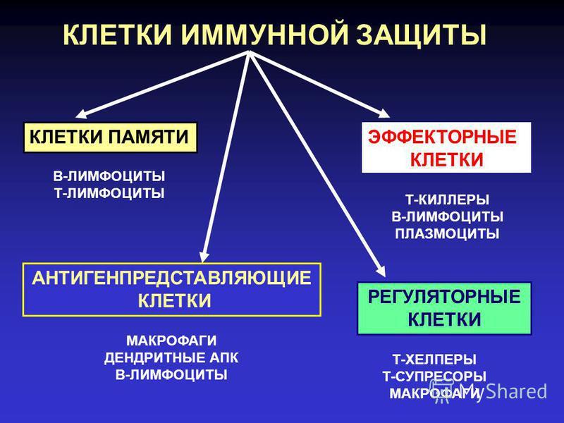 КЛЕТКИ ИММУННОЙ ЗАЩИТЫ АНТИГЕНПРЕДСТАВЛЯЮЩИЕ КЛЕТКИ ЭФФЕКТОРНЫЕ КЛЕТКИ КЛЕТКИ ПАМЯТИ РЕГУЛЯТОРНЫЕ КЛЕТКИ В-ЛИМФОЦИТЫ Т-ЛИМФОЦИТЫ МАКРОФАГИ ДЕНДРИТНЫЕ АПК В-ЛИМФОЦИТЫ Т-КИЛЛЕРЫ В-ЛИМФОЦИТЫ ПЛАЗМОЦИТЫ Т-ХЕЛПЕРЫ Т-СУПРЕСОРЫ МАКРОФАГИ