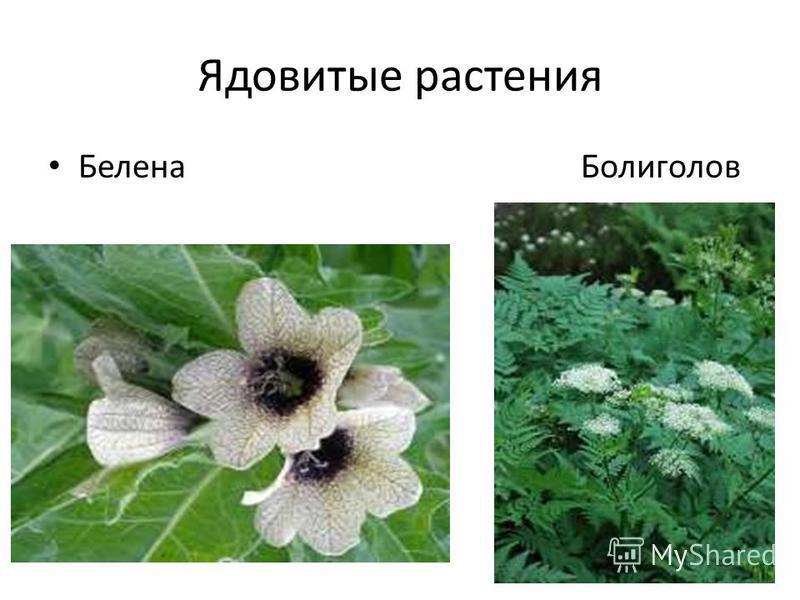 Ядовитые растения Белена Болиголов