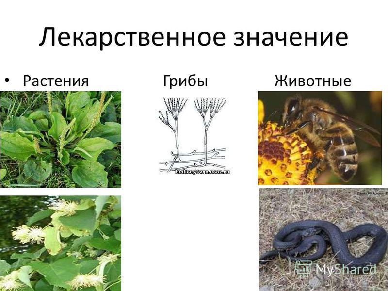 Лекарственное значение Растения Грибы Животные