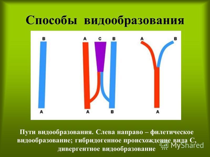Способы видообразования Пути видообразования. Слева направо – филетическое видообразование; гибридогенное происхождение вида С, дивергентное видообразование