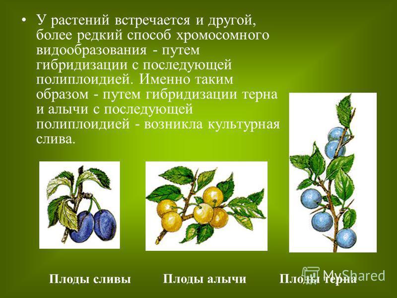 У растений встречается и другой, более редкий способ хромосомного видообразования - путем гибридизации с последующей полиплоидией. Именно таким образом - путем гибридизации терна и алычи с последующей полиплоидией - возникла культурная слива. Плоды с