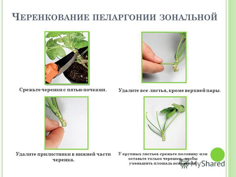 Ч ЕРЕНКОВАНИЕ ПЕЛАРГОНИИ ЗОНАЛЬНОЙ Срежьте черенки с пятью почками. Удалите все листья, кроме верхней пары. Удалите прилистники в нижней части черенка. У крупных листьев срежьте половину или оставьте только черешки, чтобы уменьшить площадь испарения.