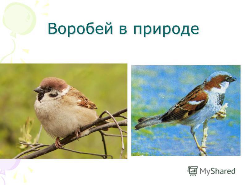 Воробей в природе