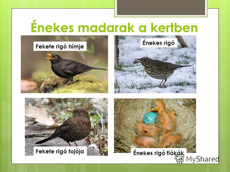 Énekes madarak a kertben Fekete rigó hímje Fekete rigó tojója Énekes rigó Énekes rigó fiókák