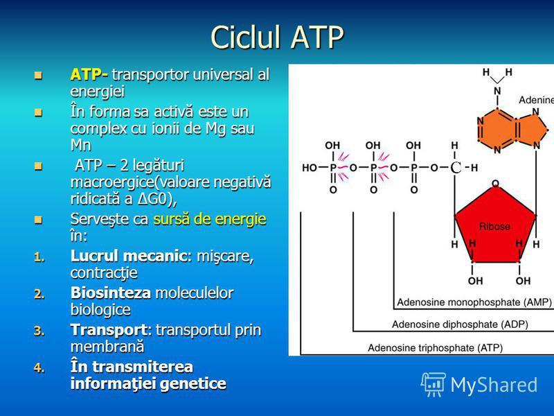 Ciclul ATP ATP- transportor universal al energiei ATP- transportor universal al energiei În forma sa activă este un complex cu ionii de Mg sau Mn În forma sa activă este un complex cu ionii de Mg sau Mn ATP – 2 legături macroergice(valoare negativă r