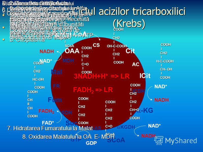 Ciclul acizilor tricarboxilici (Krebs) Acetyl CoA ICit AC Mal FR -KG ICDH NAD + NADH SCoA KGDH NAD + NADH Suc SCoAS GDP GTP CitOAA CS Fum SDH FAD + FADH 2 MDH NAD + NADH 3NADH+H + => LR FADH 2 => LR 1 Condensarea Acetil CoA cu OA E-Citrat sintetaza c