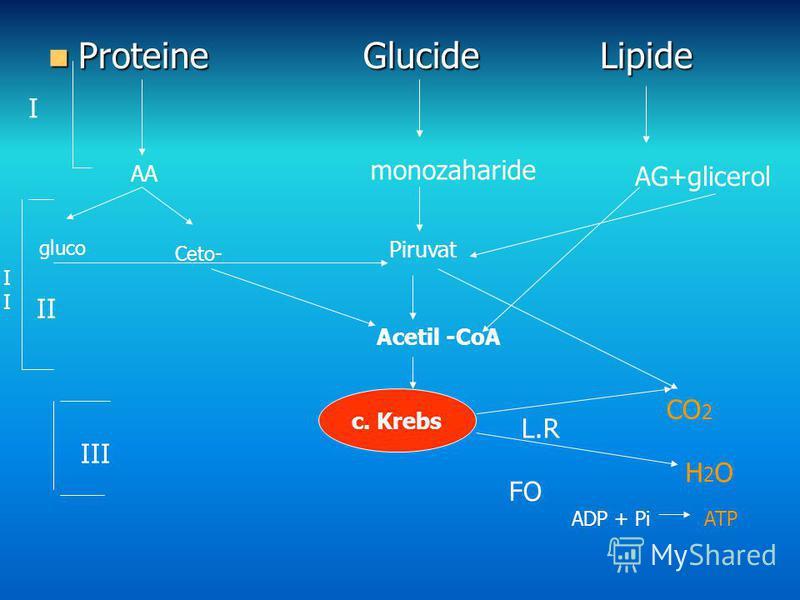 Proteine Glucide Lipide Proteine Glucide Lipide AA monozaharide AG+glicerol Piruvat Acetil -CoA c. Krebs H2OH2O L.R FO CO 2 gluco Ceto- I I II III ADP + PiATP