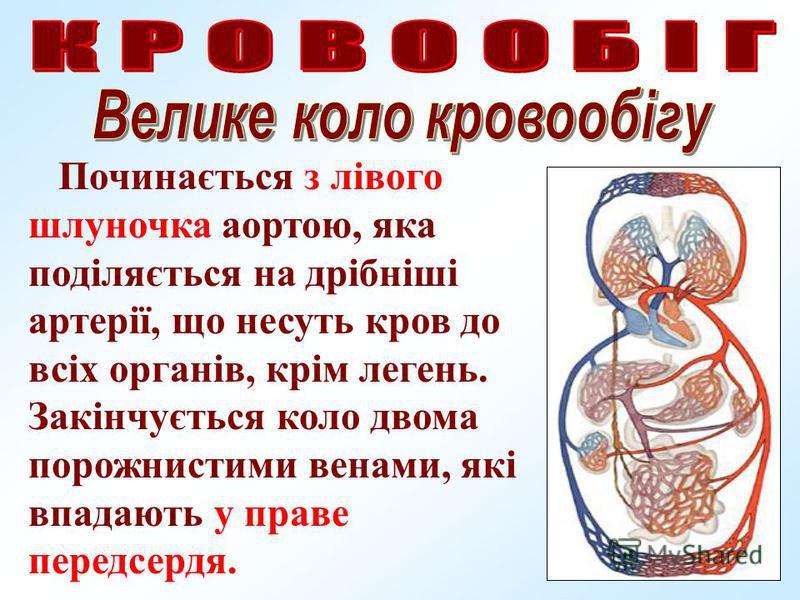 Починається з лівого шлуночка аортою, яка поділяється на дрібніші артерії, що несуть кров до всіх органів, крім легень. Закінчується коло двома порожнистими венами, які впадають у праве передсердя.
