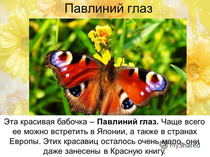 Павлиний глаз Эта красивая бабочка – Павлиний глаз. Чаще всего ее можно встретить в Японии, а также в странах Европы. Этих красавиц осталось очень мало, они даже занесены в Красную книгу.