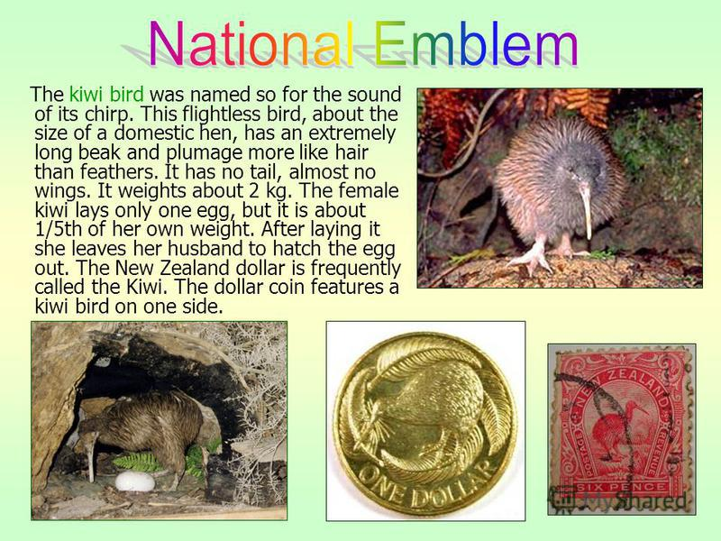 The kiwi bird was named so for the sound of its chirp. This flightless bird, about the size of a domestic hen, has an extremely long beak and plumage more like hair than feathers. It has no tail, almost no wings. It weights about 2 kg. The female kiw