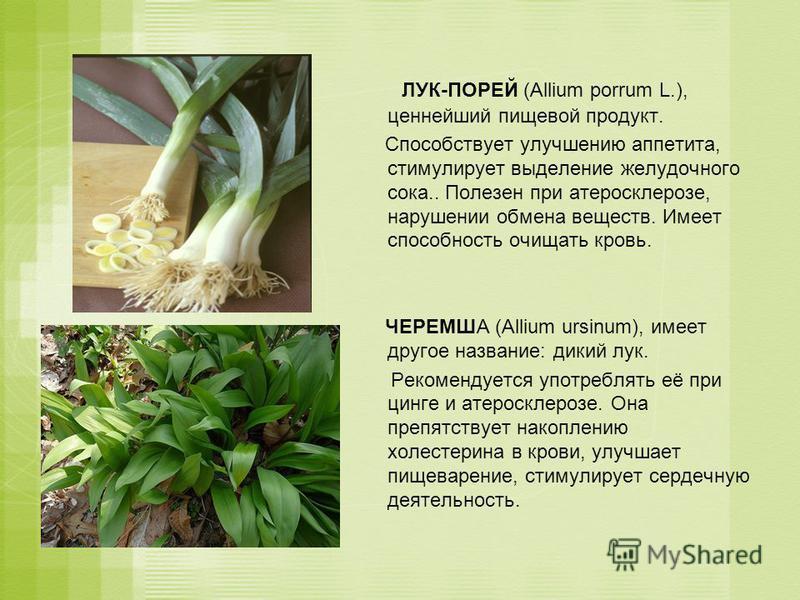 ЛУК-ПОРЕЙ (Allium porrum L.), ценнейший пищевой продукт. Способствует улучшению аппетита, стимулирует выделение желудочного сока.. Полезен при атеросклерозе, нарушении обмена веществ. Имеет способность очищать кровь. ЧЕРЕМША (Allium ursinum), имеет д
