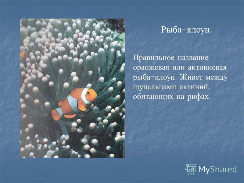 Рыба - клоун. Правильное название оранжевая или актиниевая рыба - клоун. Живет между щупальцами актиний, обитающих на рифах.